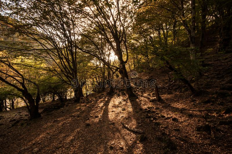 Autumn forest in sunset light. Beautiful nature background. Beautiful forest landscape, bright sunlight makes its way through the. Trunks of pines, amazing stock photography