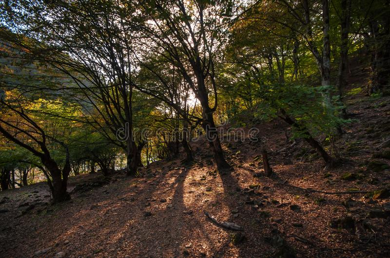 Autumn forest in sunset light. Beautiful nature background. Beautiful forest landscape, bright sunlight makes its way through the. Trunks of pines, amazing royalty free stock image