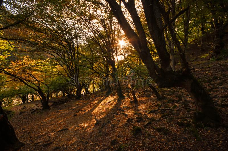 Autumn forest in sunset light. Beautiful nature background. Beautiful forest landscape, bright sunlight makes its way through the. Trunks of pines, amazing stock images