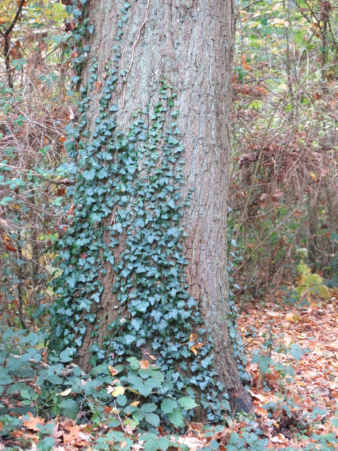 Autumn in the Forest with Tree and Ivy stock photo