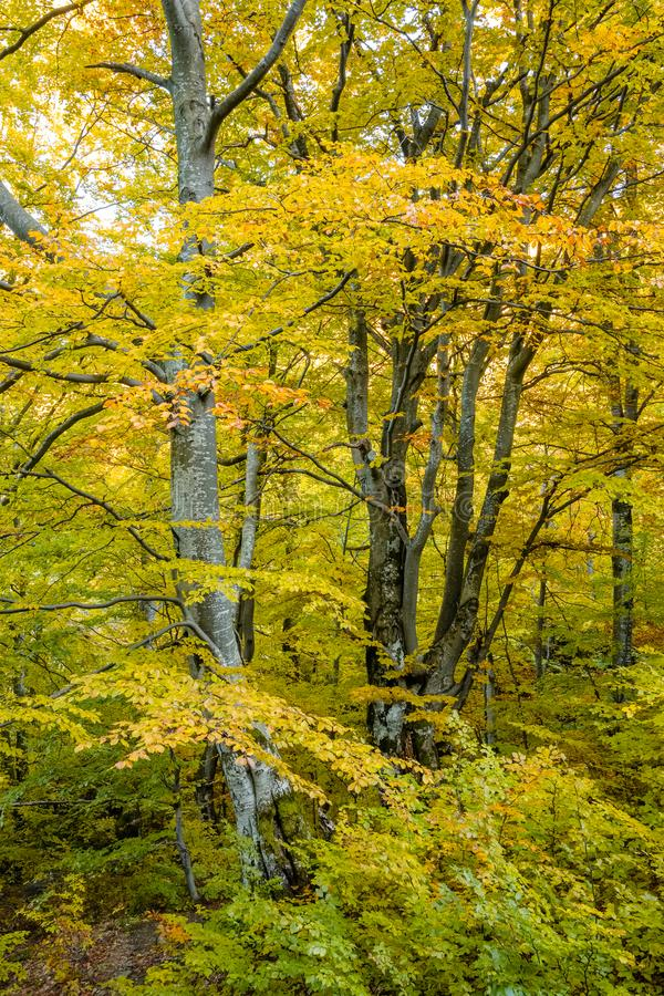 Autumn forest trees landscape. Autumn forest beech trees landscape stock photos