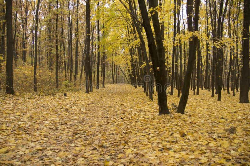 Autumn forest. trees. leaves, Earth royalty free stock images