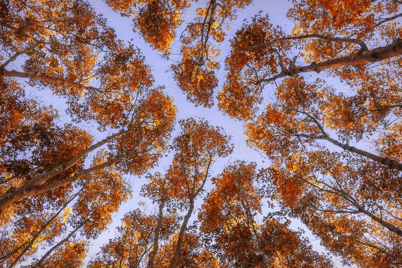 Autumn forest. Trees pattern. Looking up the blue sky stock photography
