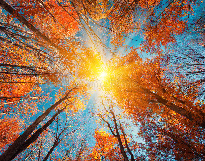 Autumn forest. Trees pattern. Looking up the blue sky. backgroun. Autumn forest. Trees pattern. Looking up the blue sky. Nature background royalty free stock photos