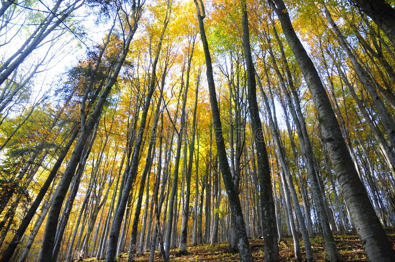 Autumn forest trees with sunlight. Autumn forest trees photo. Sunlight in beech trees mountain forest. Autumn forest background. stock images