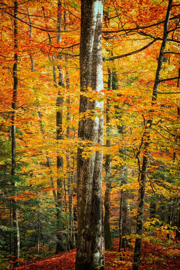 Autumn forest vertical background. Yellow and red leaves on the trees royalty free stock photography