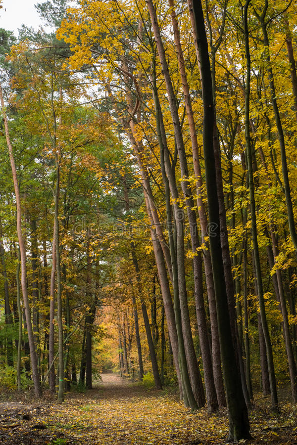 Autumn forest. Yellow forest landscape in autumn stock images