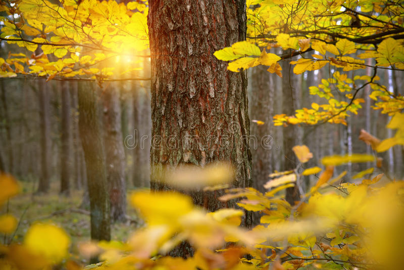 Autumn forest, yellow leaves at the sunset royalty free stock photos