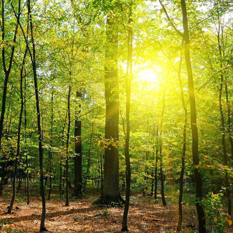 Autumn forest, yellow leaves and the sunset. royalty free stock photo