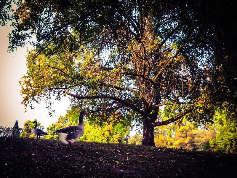 Autumn Fowl fotos de stock royalty free