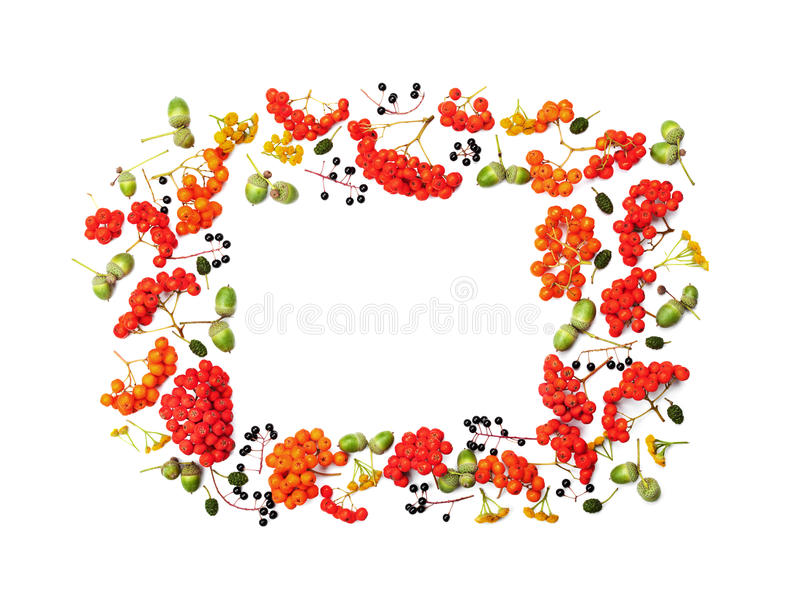 Autumn frame from rowan, acorns, flowers and various fruits isolated on white background overhead view. Flat lay styling. royalty free stock images