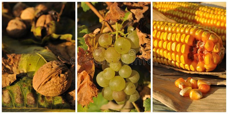 Collage with autumn fruits and vegetables. Walnut, wine grape and corn royalty free stock photography