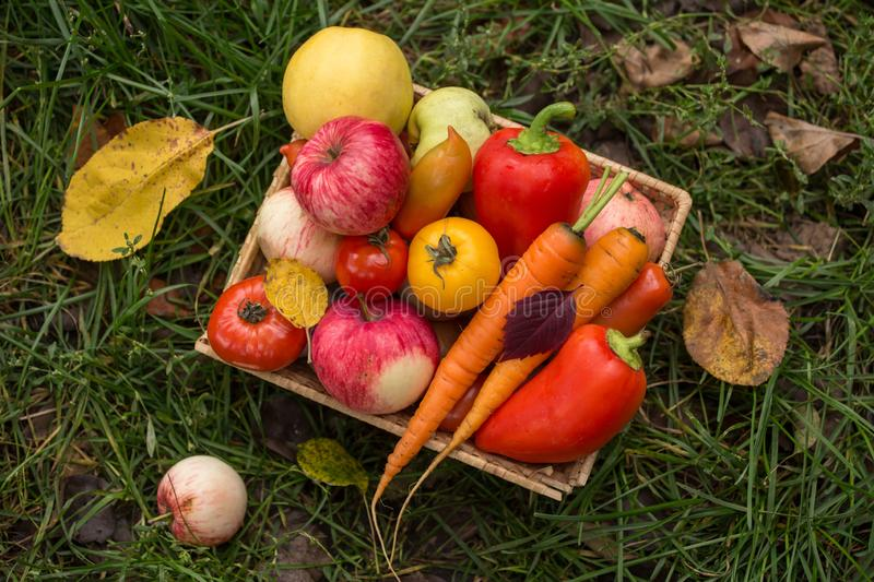 Autumn fruits and vegetables in basket in grass. Harvest in garden. Autumn organic fruits and vegetables in basket in grass. Harvest in garden stock images