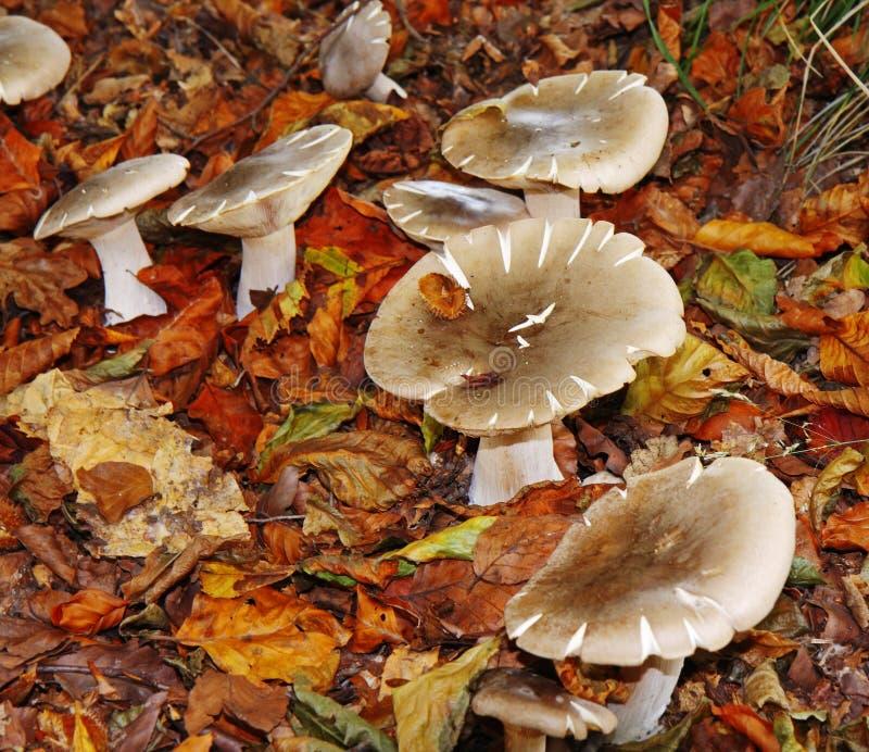 Autumn Fungi Amongst Fallen Leaves Stock Photos