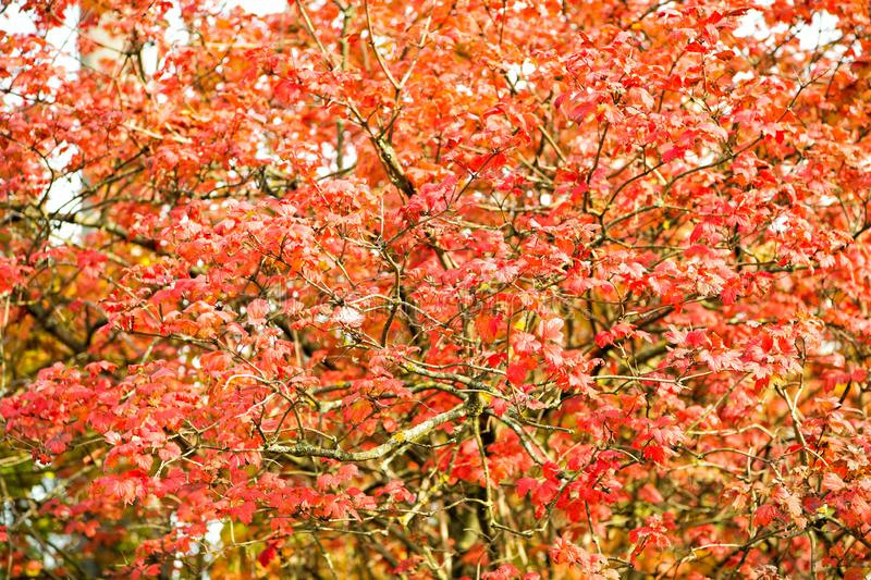 Autumn garden beauty. Leaves turn red in garden. Ornamental garden plant with red colored leaves. Decorative tree in stock images