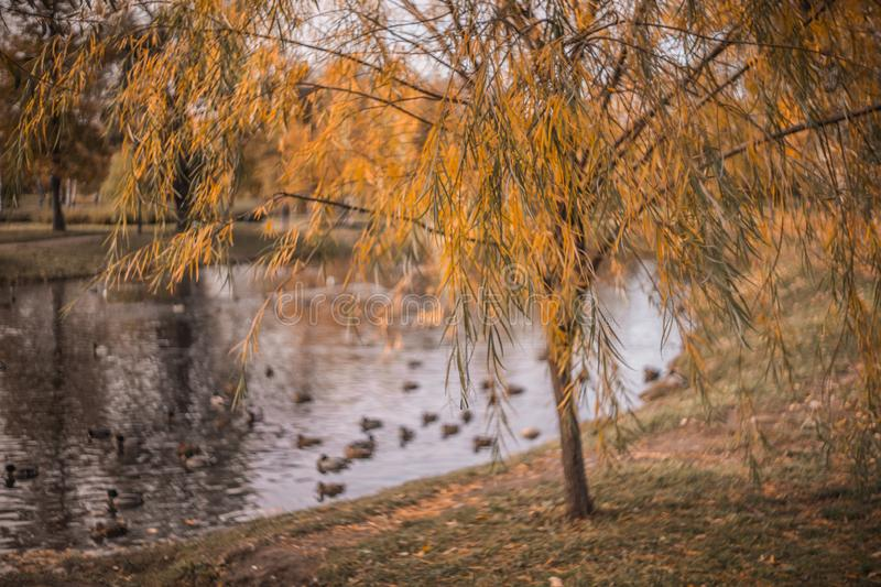 autumn garden city park lake yellow leaves day royalty free stock photography