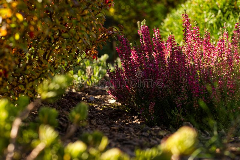 Autumn in the garden. Planting of common heather and red leaf barberry royalty free stock photo