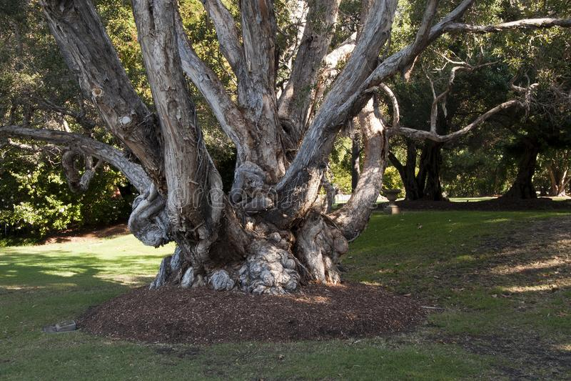 Tree trunk of an old gnarly Melaleuca leucadendra tree. Autumn in the garden Sydney, Australia royalty free stock photo