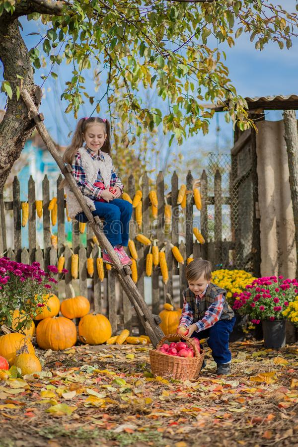 Autumn gathering apples on the farm. Children collect fruit in the basket. Outdoor fun for kids. Autumn harvest of apples, pumpkins stock photography