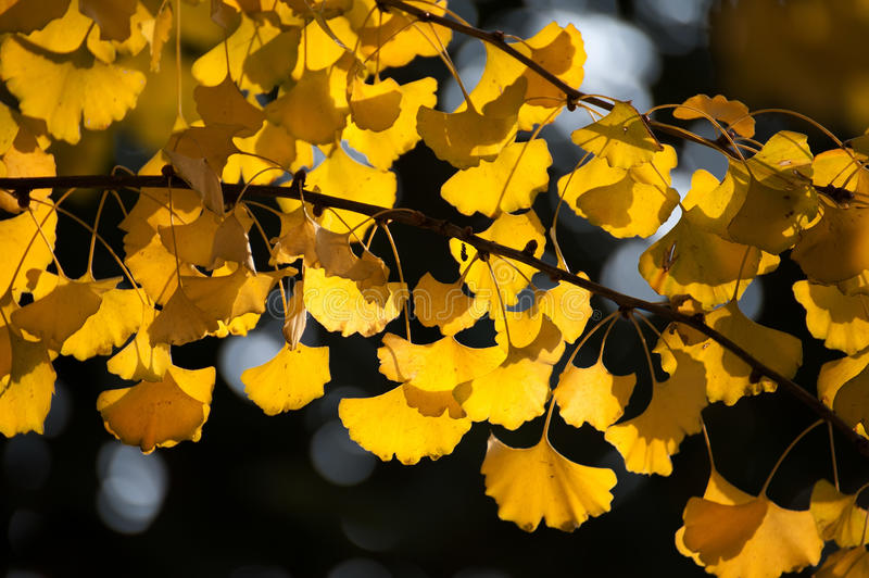Autumn Ginkgo leaves background royalty free stock photo