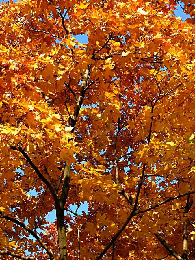 Autumn gold maple stock photos
