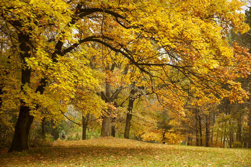 Download Autumn / Gold Trees In A Park Stock Image - Image of countryside, orange: 24067667