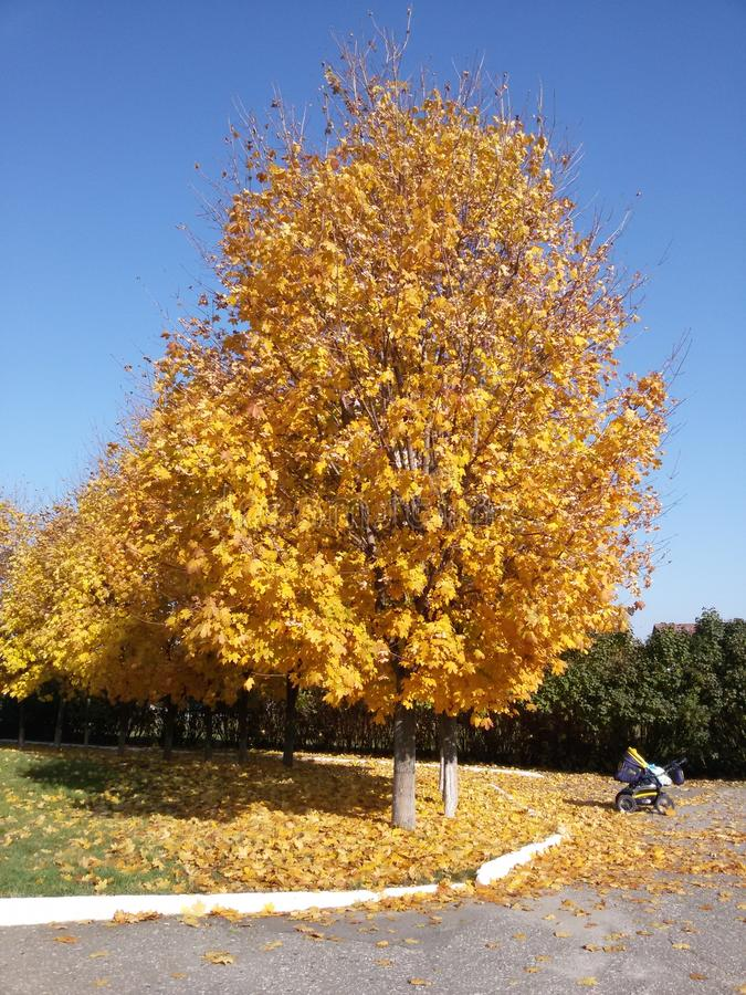 Autumn / Gold Trees in a park royalty free stock photos