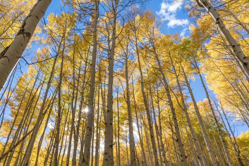 Autumn Golden Aspen Sunburst lizenzfreie stockfotografie