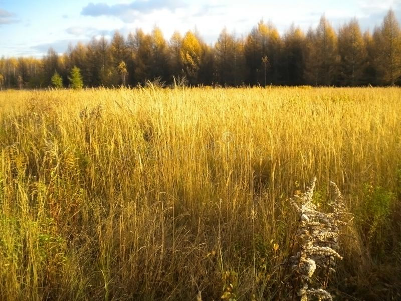 Autumn, Golden field, bright sun, far away forest royalty free stock photo