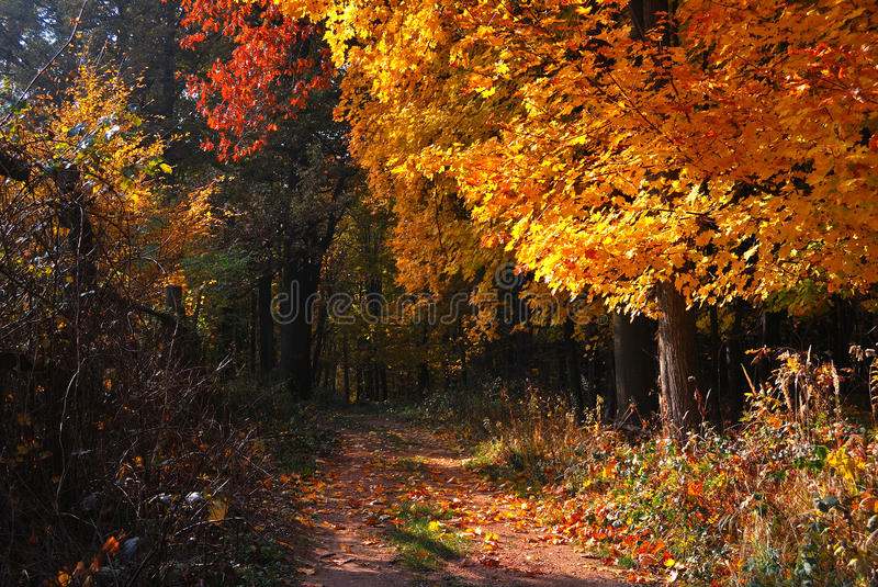 Autumn golden forest path royalty free stock image