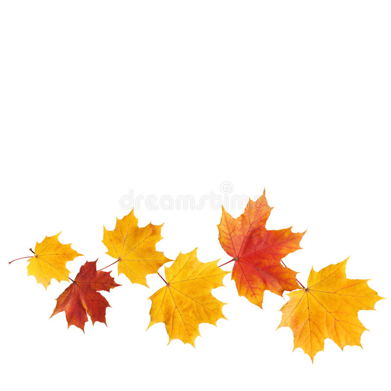 Autumn. golden leaves maple isolated. stock photography