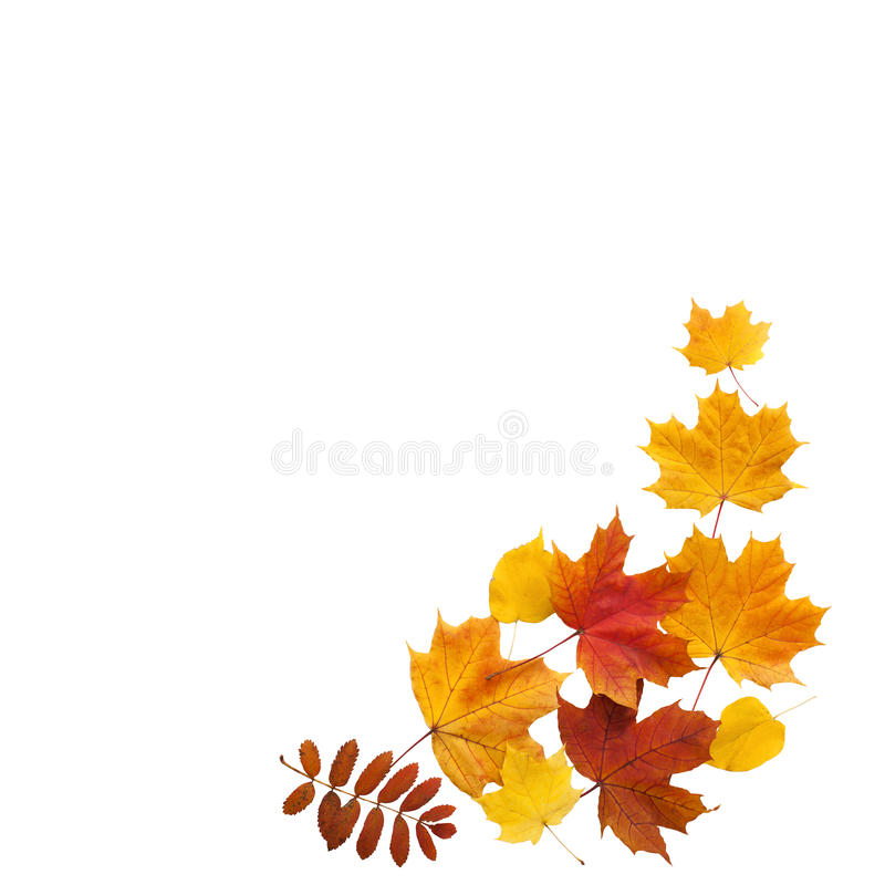 Autumn. golden leaves maple isolated. royalty free stock photo