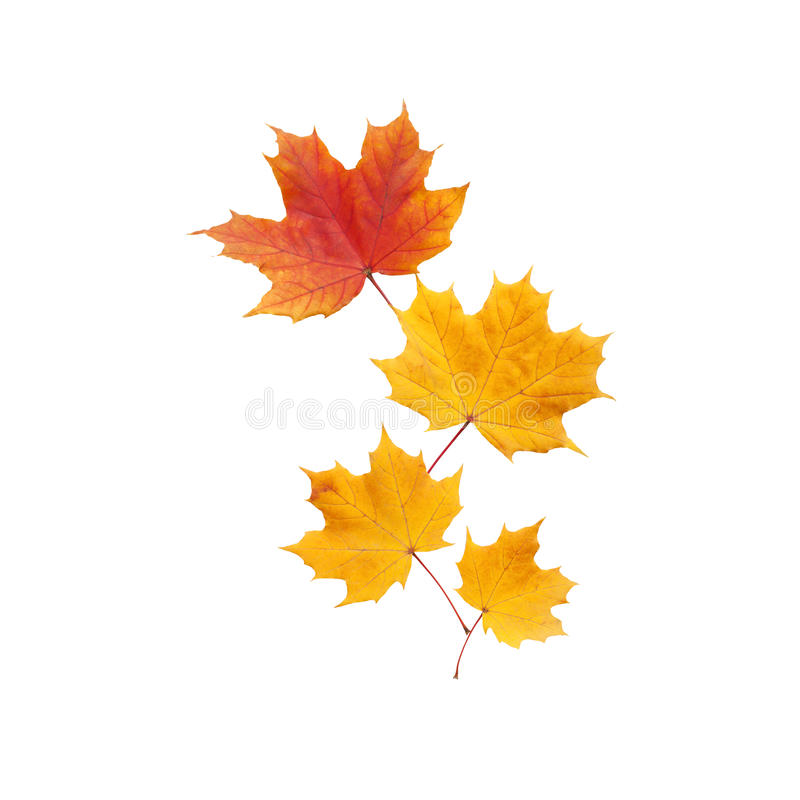 Autumn. golden leaves maple isolated royalty free stock photos