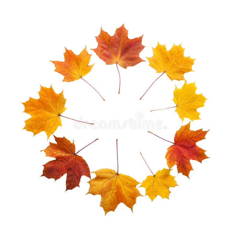 Autumn. golden leaves maple isolated stock photo