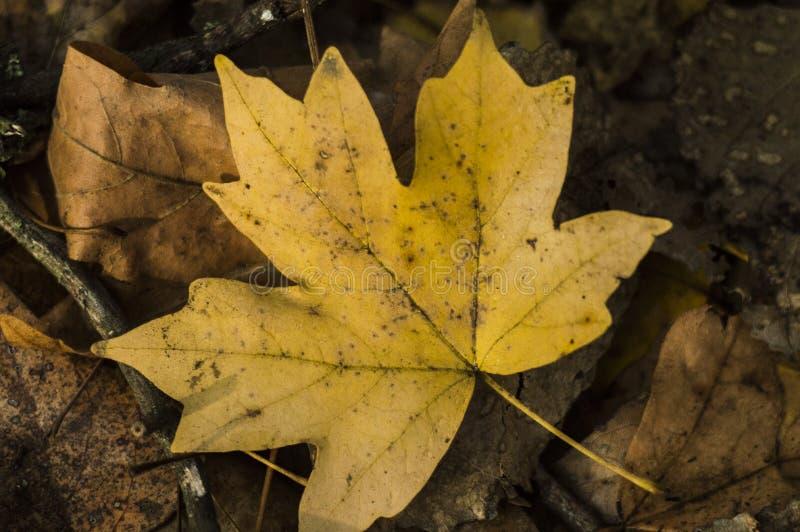 Autumn Golden Maple Leaf jaune photographie stock libre de droits