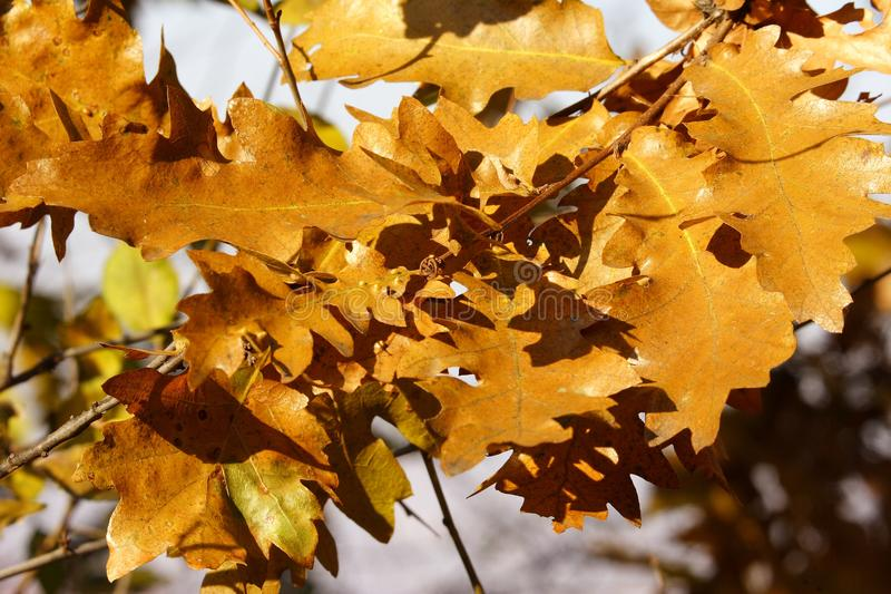 Download Autumn golden oak leaves stock image. Image of habitat - 1546245