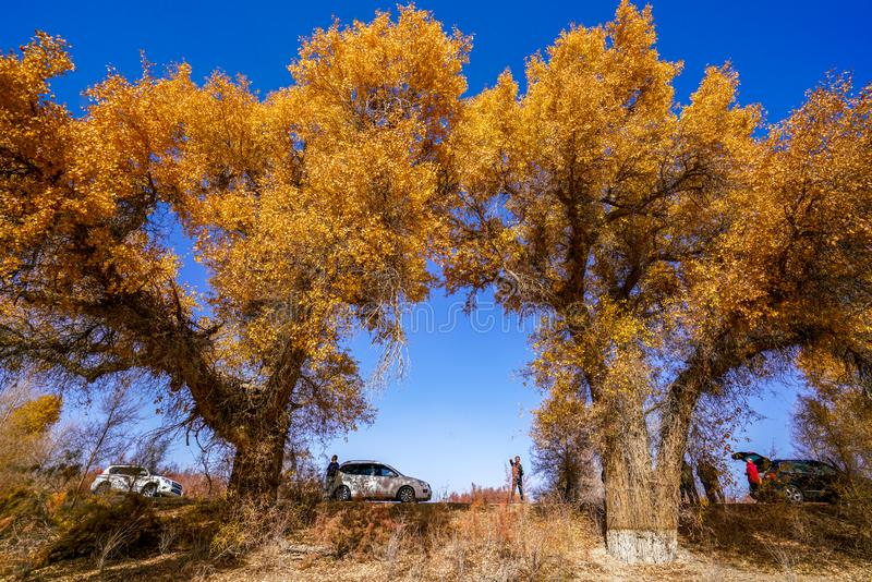 Tourist and Lively Golden Populus in autumn by River Tarim royalty free stock photos