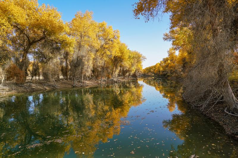 Colorful Populus Water Reflection in autumn by River Tarim. In Autumn is the golden season of Populus diversifolia eyeful looked full of pictures depicting royalty free stock photos