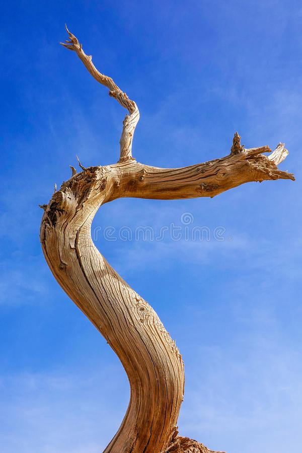 Death Populus Branch in autumn royalty free stock photos