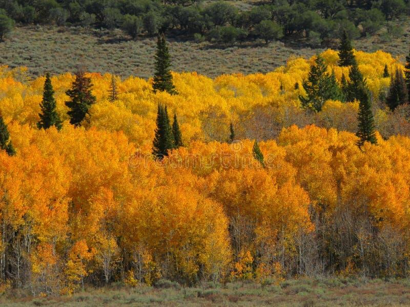 Autumn Golds fotografia stock libera da diritti