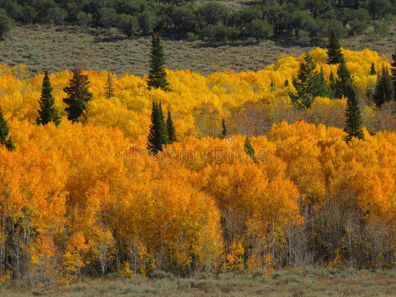 Autumn Golds. Autumn colors in the Uintah Mountains of Utah royalty free stock photo