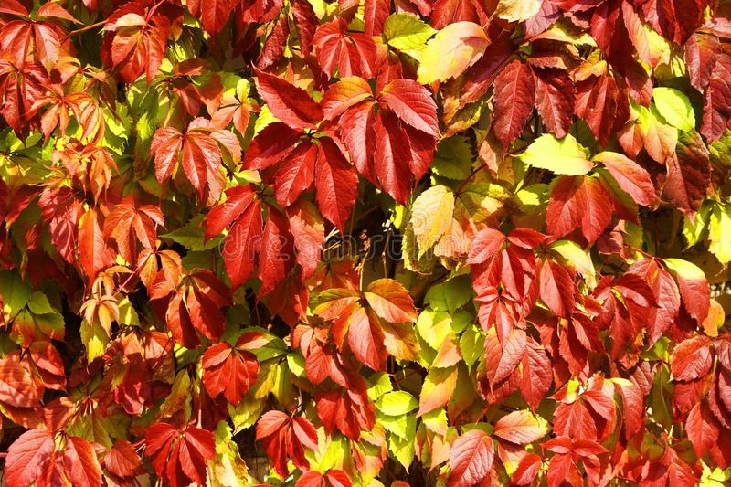 Red autumn grape leaves stock images