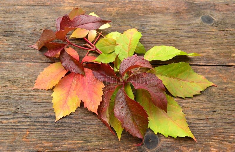 Download Autumn grape leaves stock image. Image of autumnal, rain - 34358787