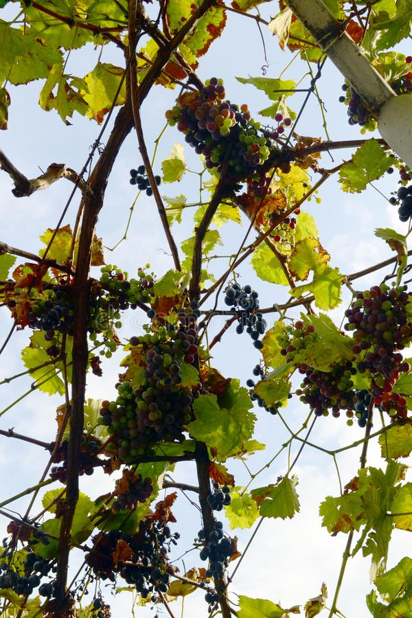 Autumn grapes. Growing grapes in the garden. Bottom view royalty free stock photos