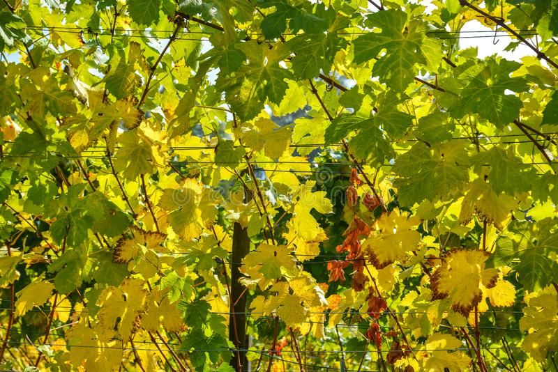 Autumn grapes with yellow leaves royalty free stock photo