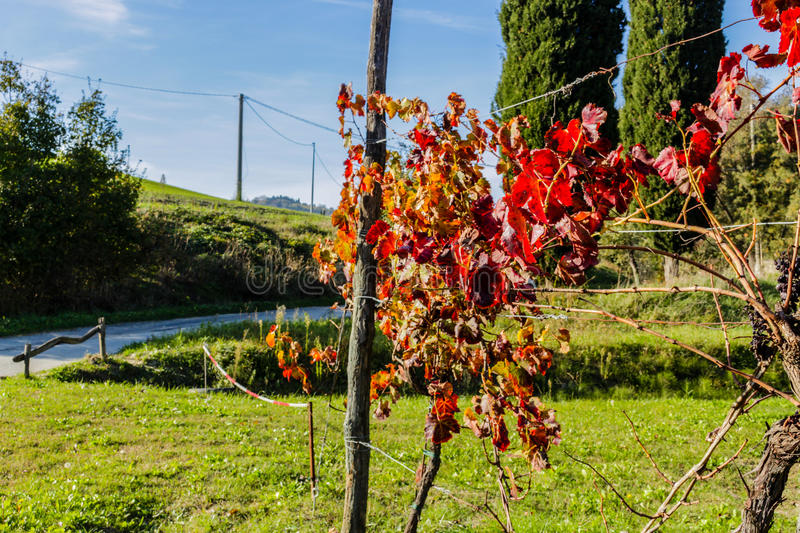 Autumn grapevine leaves royalty free stock photography