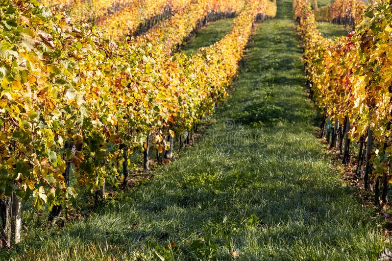 Autumn grapevine near Gamlitz with colorcontrast of yellow vine leafs and a green band of grass between  downhill view royalty free stock photography
