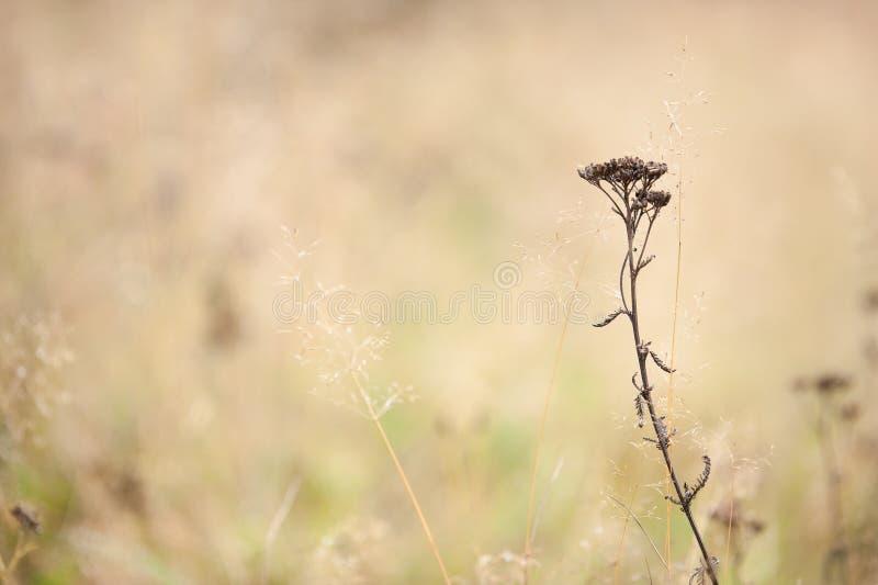Autumn grasses and Common Yarrow. Achillea millefolium in the field stock photo