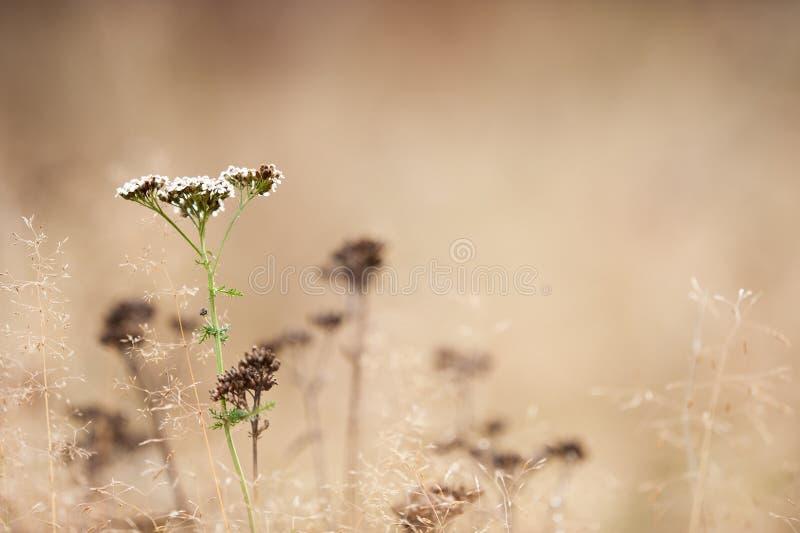 Autumn grasses and Common Yarrow. Achillea millefolium in the field stock images