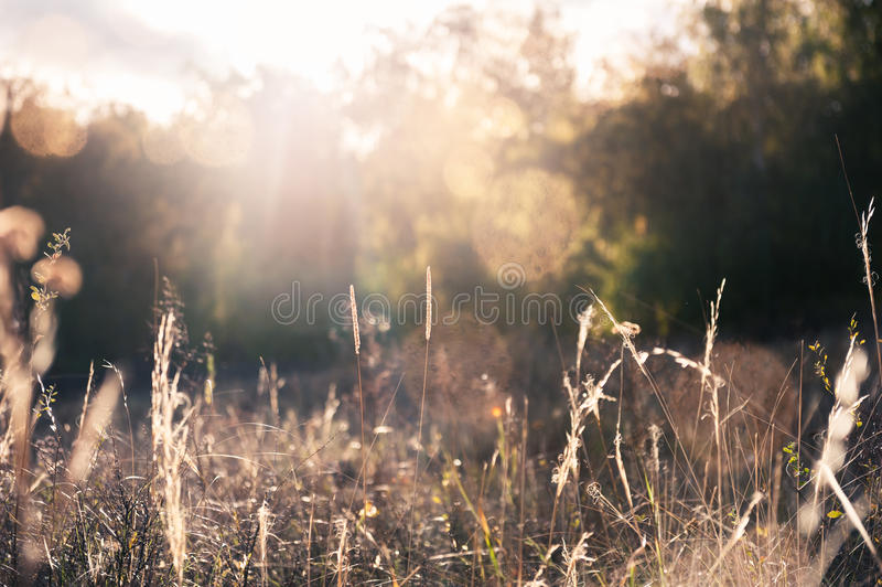 Autumn grasses in a field at sunset. Autumn landscape royalty free stock photography